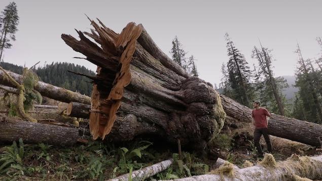 Un gros arbre coupé.